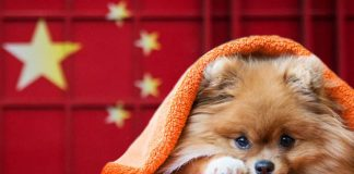 China Coronavirus Pomeranian Dog
